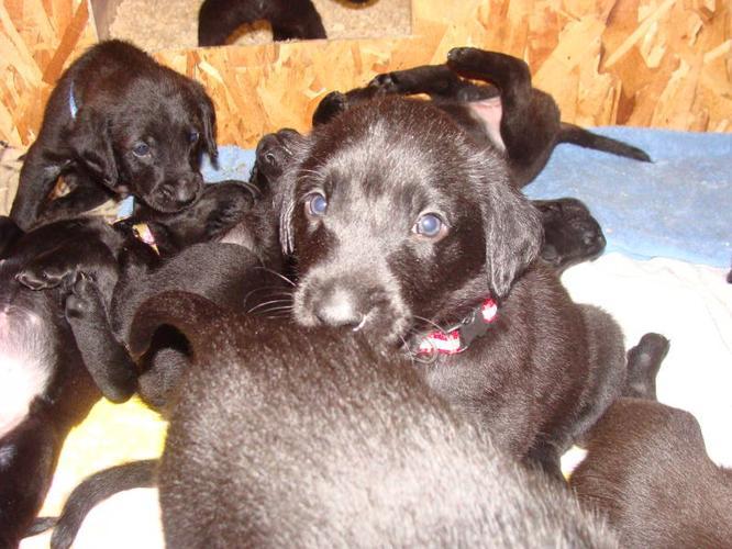 Chesador Puppies