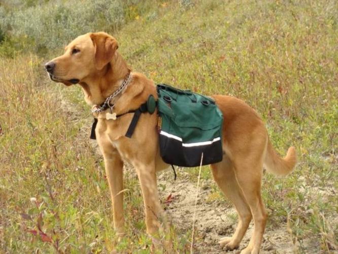 Chesador Pups-Chesapeake Bay Retriever/Yellow Labrador Retriever