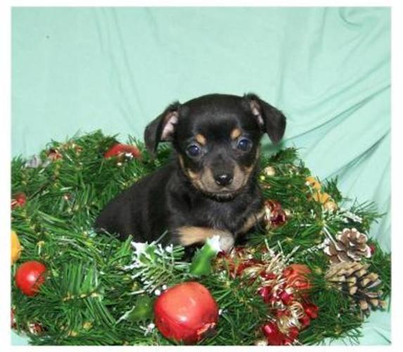 Chiweenie Puppies: Ready For Christmas