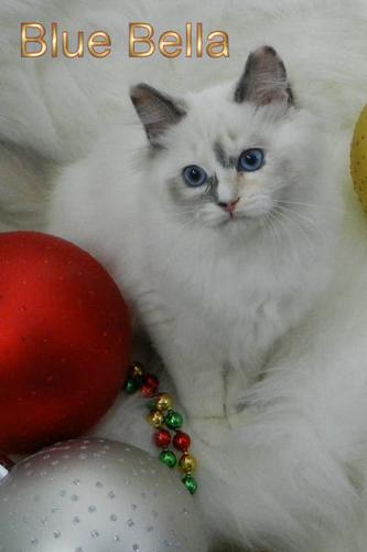 Christmas Special for TICA Registered Ragdoll Kittens.