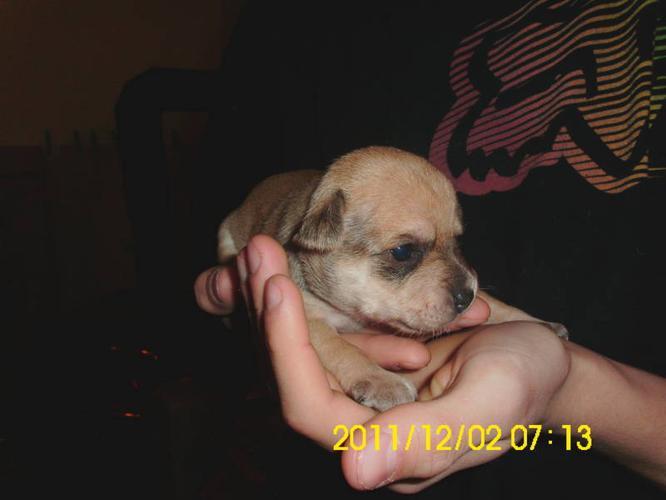 Chuhuahua Puppies for sale