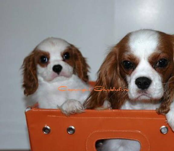 CKC Cavalier King Charles Puppies!