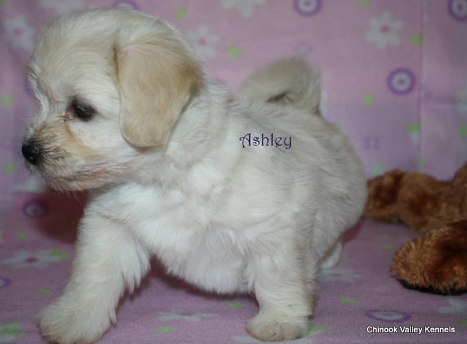 CKC Havanese Puppies available for veiwing in Grande Prairie!!
