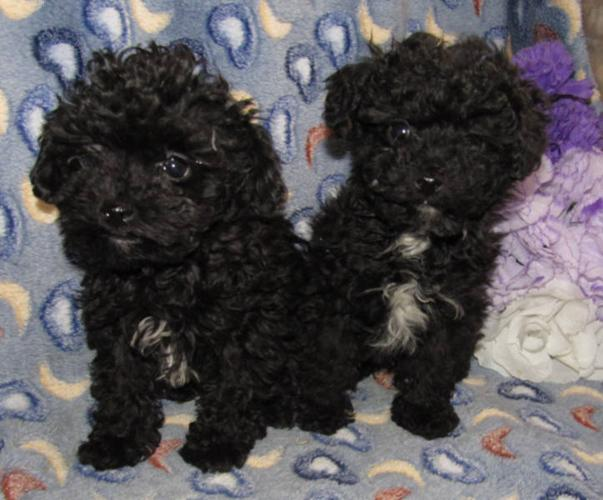 CKC Reg. Teacup poodle puppies