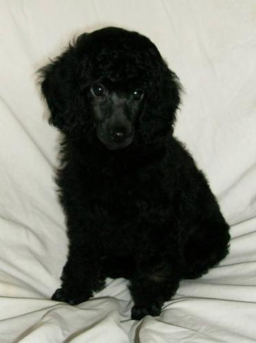 Ckc Regd Black Brindle Phantom Male Miniature Poodle