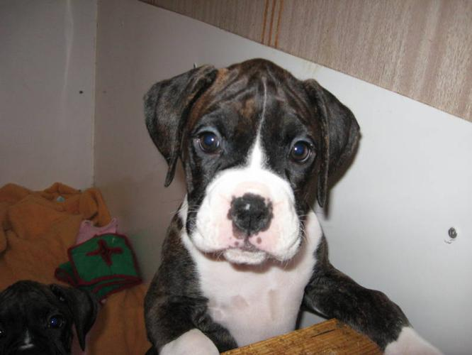 CKC Registered Boxer -