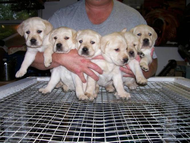 CKC Registered Yellow Labrador Retriever Pups