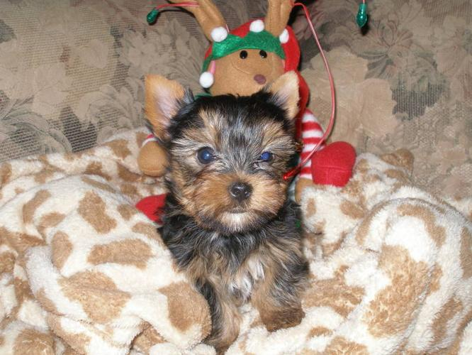 CKC REGISTERED YORKSHIRE TERRIERS- M/F IN MISSISSAUGA!!!!