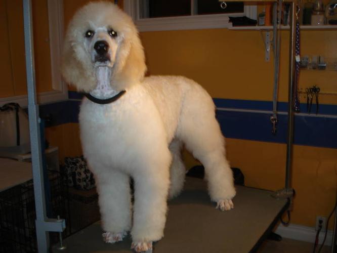 CKC Standard Poodle older pups