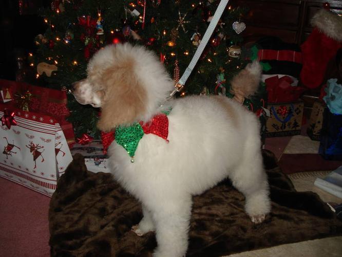 CKC Standard Poodle pups