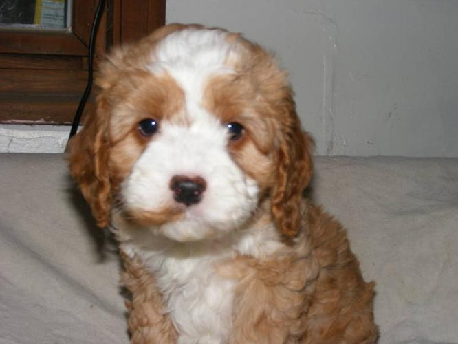 Cockapoo Puppies for sale in Steinbach, Manitoba - Your pet
