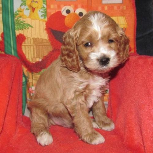 Cockapoo Puppies~! for sale in Tupperville, Ontario - Your