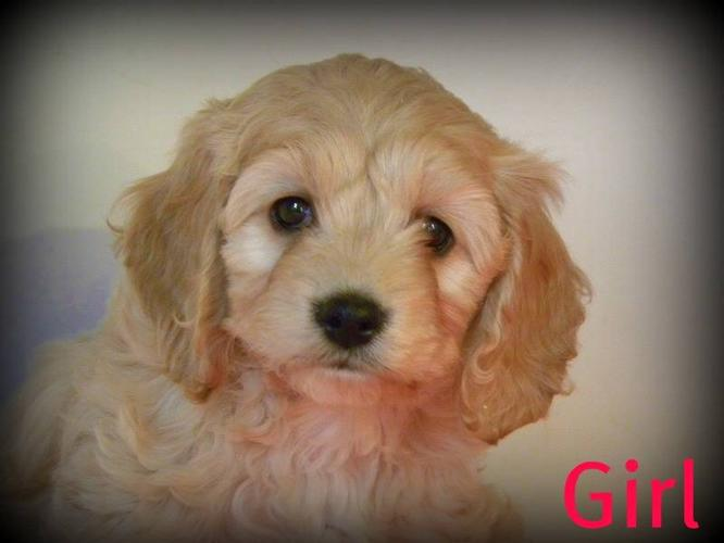 Cockapoo Pups for sale in Millgrove, Ontario - Your pet for sale