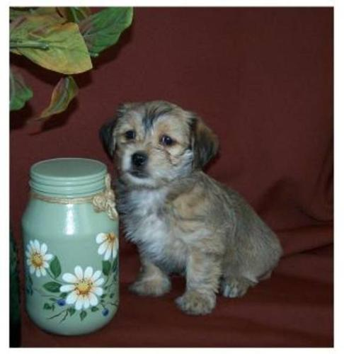 Cockapoo X Yorkshire Terrier Puppy