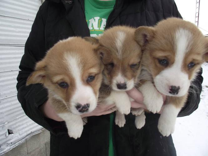 Corgi Puppies For Sale In Aylmer Ontario Your Pet For Sale
