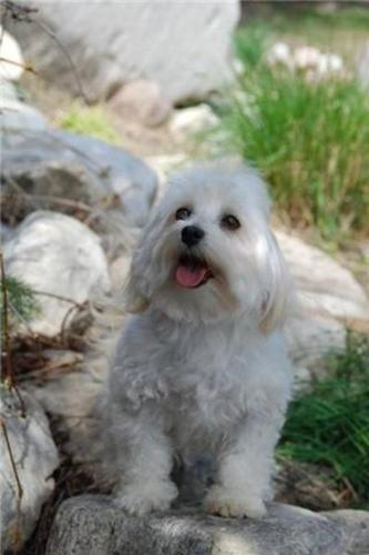 Coton de Tulear and Havanese litters availabe this spring/summer