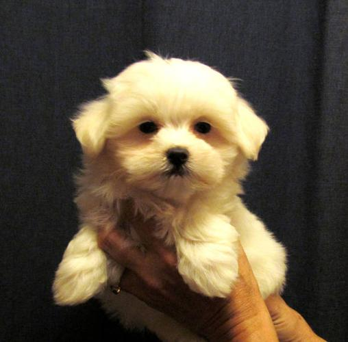 Cute Maltese puppies MALES only