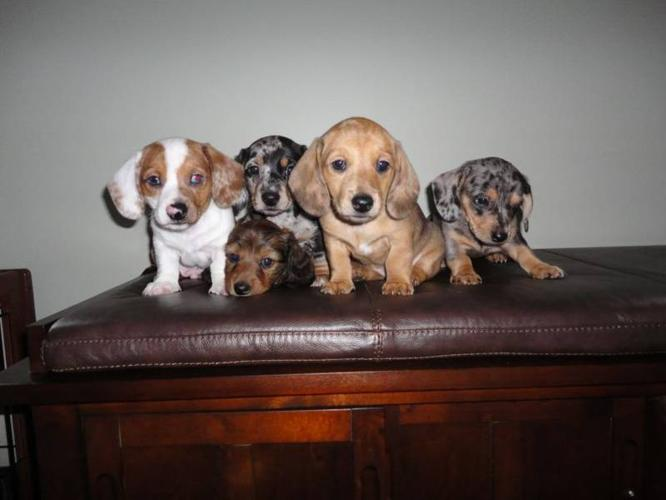 DACHSHUND PUPPIES AVAILABLE TO GOOD HOMES!! for sale in Strathroy