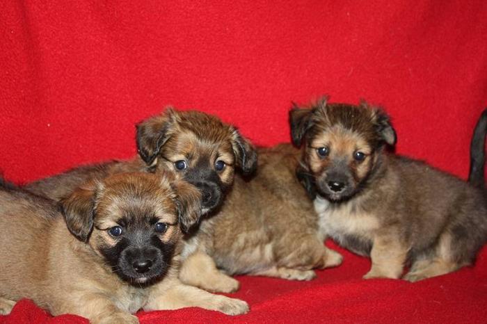 Daschund Mix Puppies For Sale