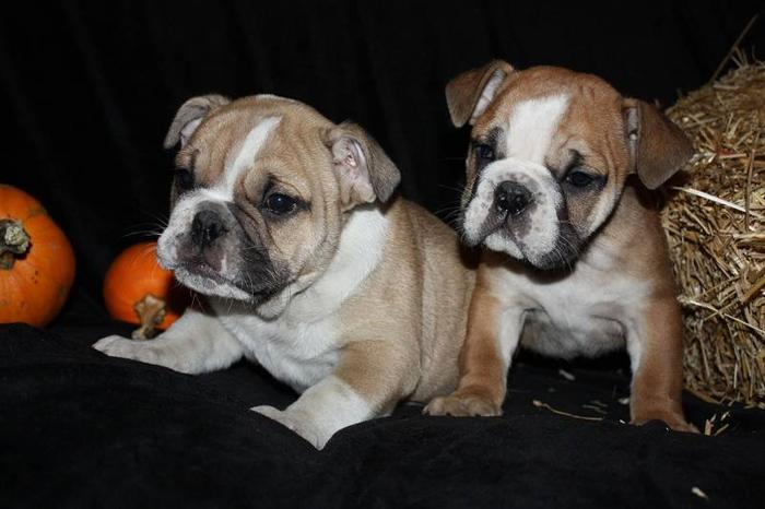 ENGLISH BULLDOGS 2 FEMALES 2 MALES ..