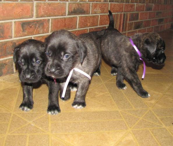 English Mastiff Puppies Left