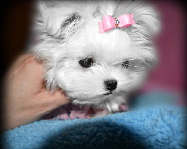 Extremely tiny female maltese***** for sale in Calgary, Alberta