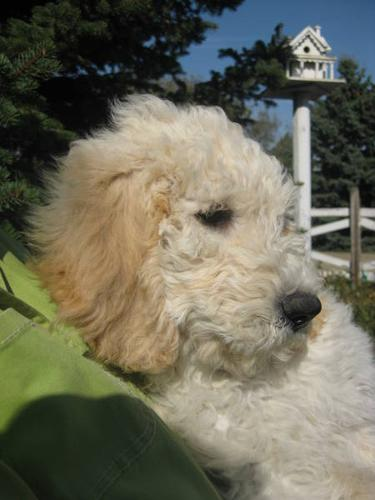 Fabulous Goldendoodle Puppies For Sale In Stewart Valley