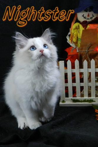 Fall Beautiful Purr Ragdoll Babies Looking For Forever Homes