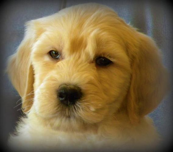 First Generation Standard Golden Doodle Pups - Females Only