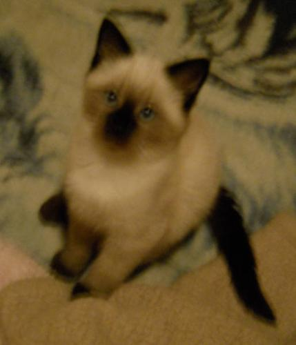 fluffy female chocolate point siamese kitten 25 for sale in red