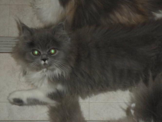 Fluffy Male Kitten..Himalayan x Persian