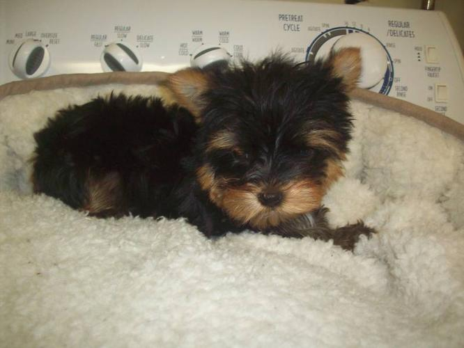For All YORKIE LOVERS:-MICRO,T.CUP,MINI puppies-DEC.05 to DEC.24