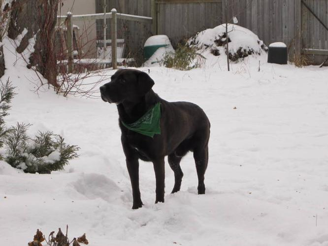 FOUND: Male Black&Brown Lab-type Dog with Green Bandana