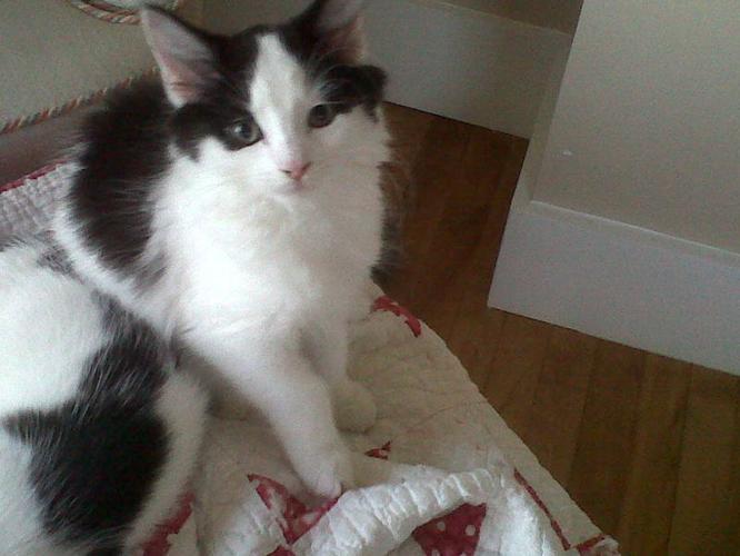 FREE 12-week old kittens (black&white)