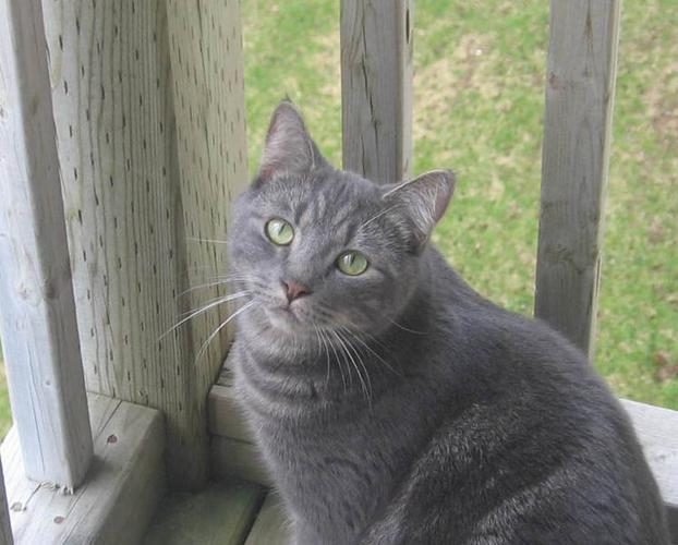 FREE DECLAWED NEUTERED CAT