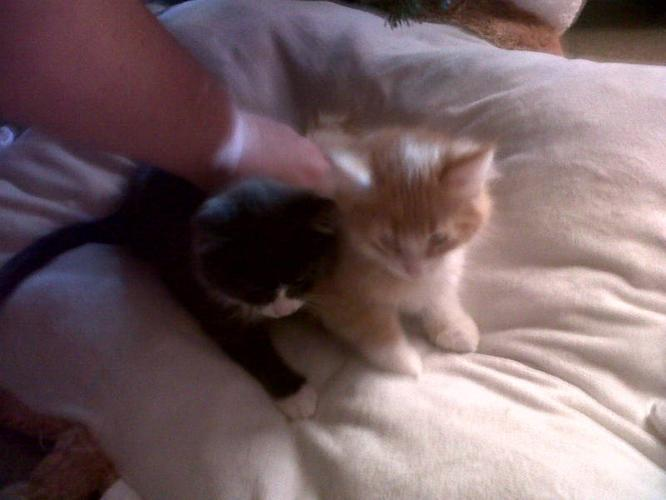 FREE KITTENS for sale in North Bay, Ontario - Your pet for sale