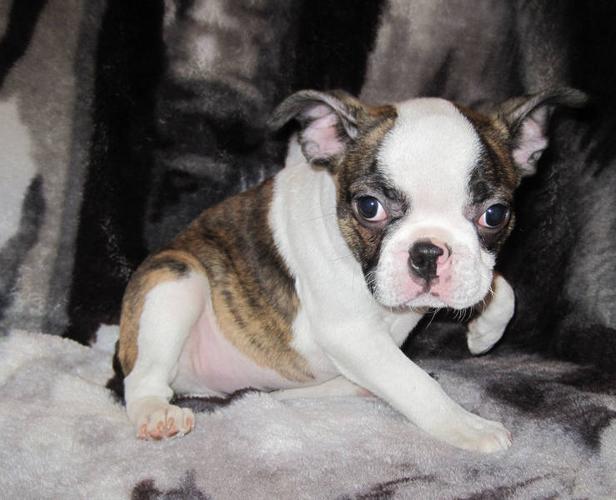 French Bulldog x Boston
