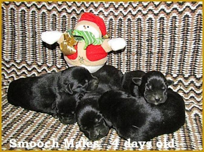Georgeous Lab Puppies - Black, yellow and fox red