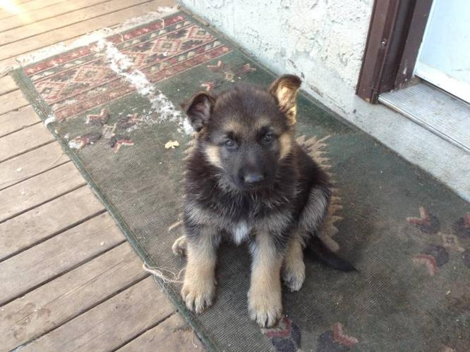 German Shepherd Puppies *REDUCED PRICE* for sale in Beaumont
