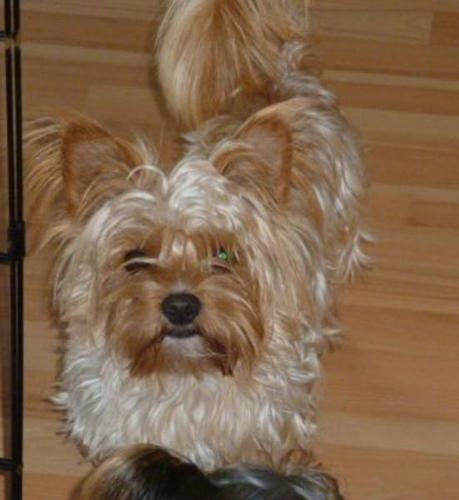 golden biewer yorkshire yorkie for sale in roblin ontario