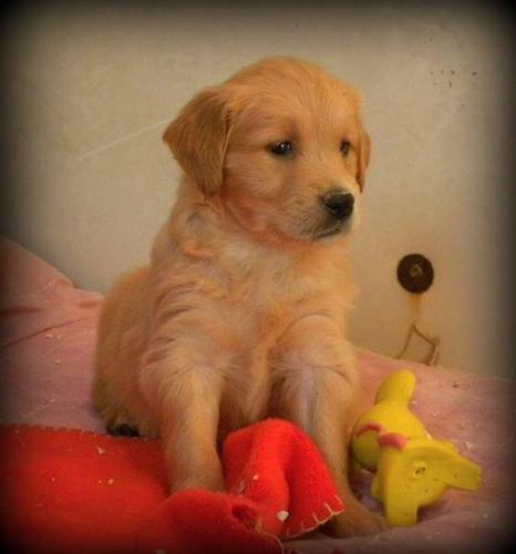 Golden Retriever Pups Available