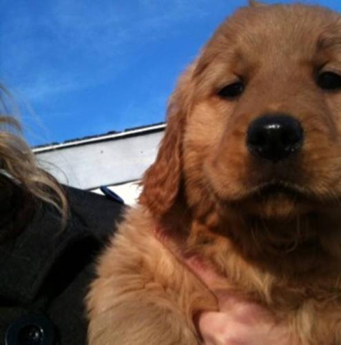 Golden Retriever pups - must go ASAP