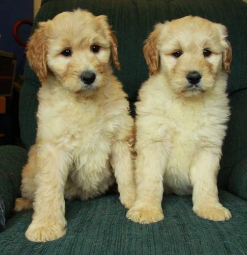 Gorgeous GOLDENDOODLE Puppies! 8 Weeks Old!