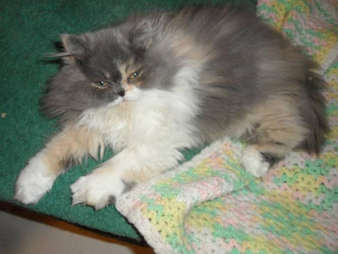 Gorgeous Persian/Himalayan Kittens .Will hold for Christmas