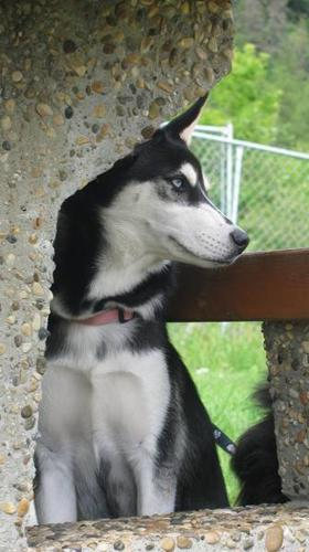 Gorgeous Purebred Siberian Husky Pup in need of loving home.