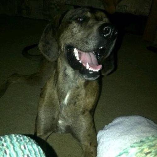 Great Dane x Foxhound