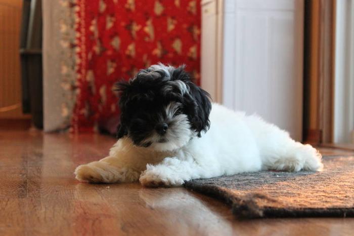 Havanese Puppies Male LAST ONE