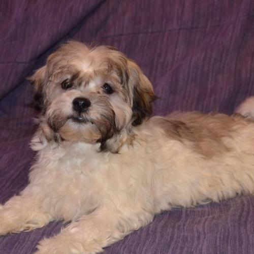Havanese Shih Tzu Puppies 2 males for sale in Edmonton