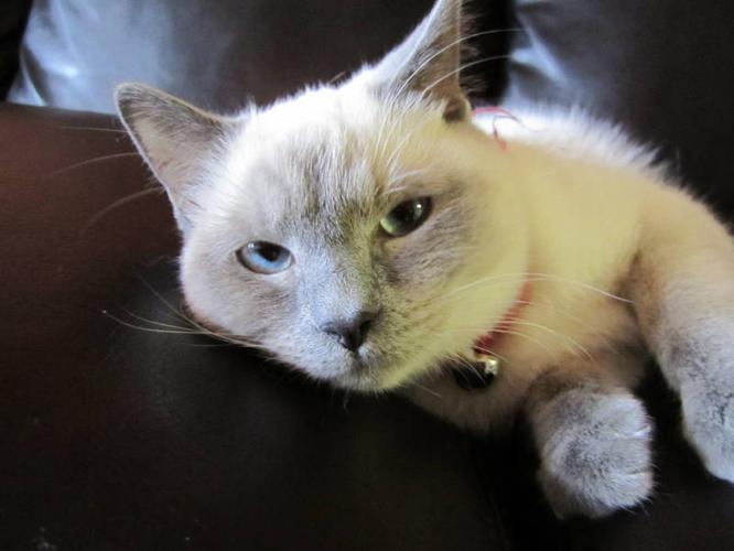 Himalayan/Siamese Female Cat