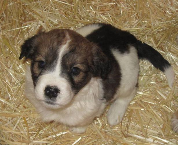 Husky Shepard Collie cross Puppies